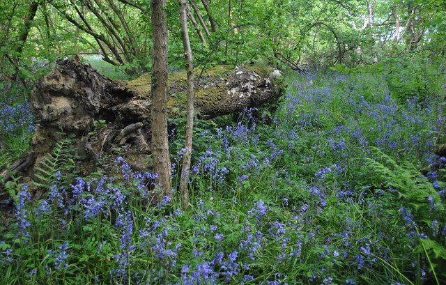 Bluebells, Alderton Grove Wood, nr Alderton, Wiltshire 2015