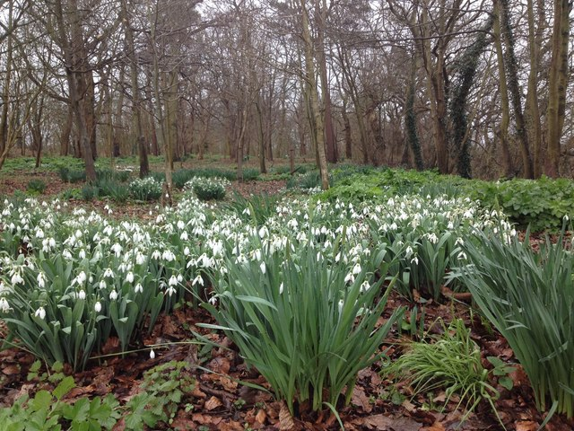Snowdrops - Homersfield Community Wood