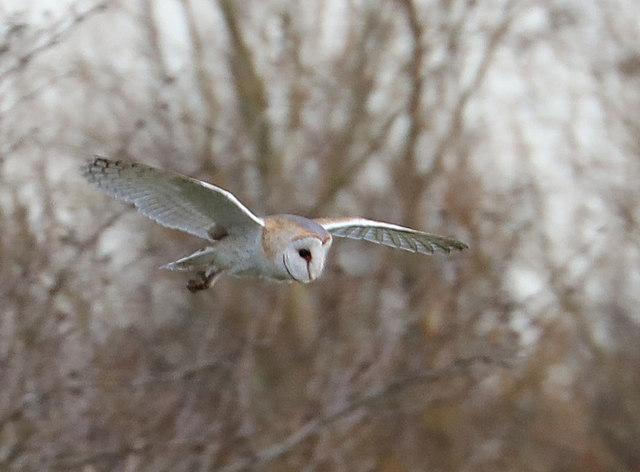 Barn owl near Upware