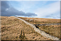 NY8132 : Sheep at wall angle by Trevor Littlewood