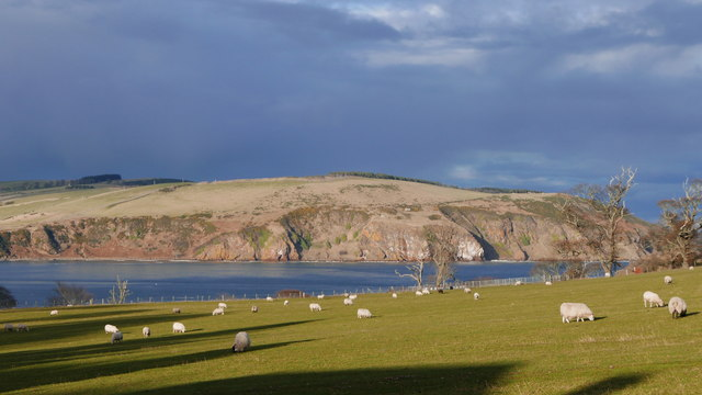 Field of sheep at Cromarty