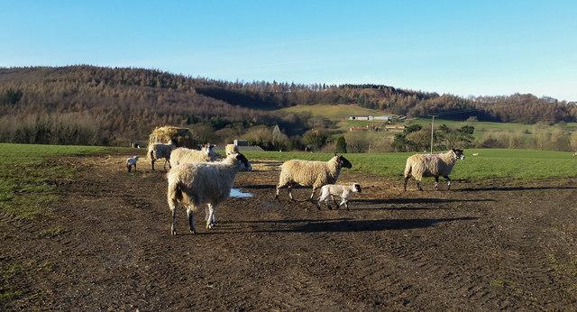 Early lambs near Kildale