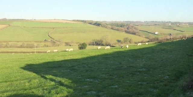Sheep, Kingscott