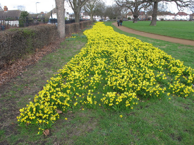 Daffodils in North Acton playing fields