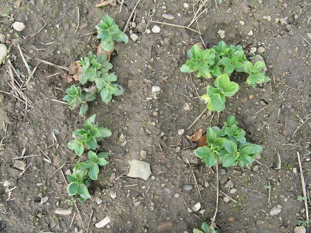 Bean seedlings at Liberton