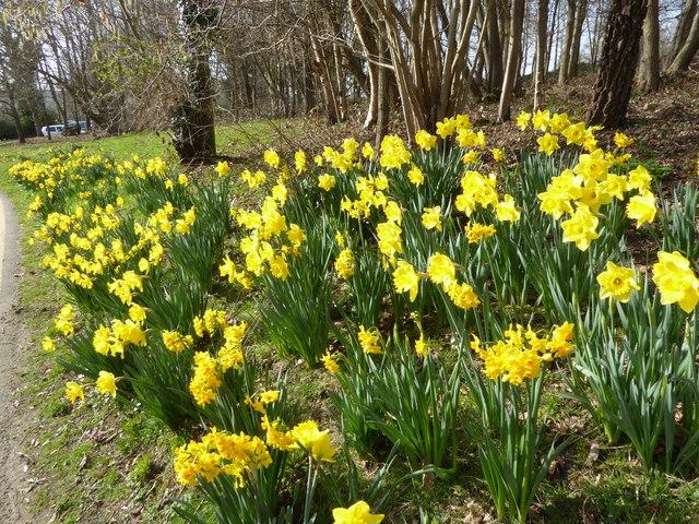 Daffodils at Burrswood