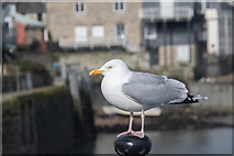 SW8132 : Herring Gull at Falmouth Harbour, Cornwall by Christine Matthews