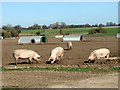 TM0288 : Pigs west of Eccles Common by Evelyn Simak
