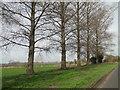TL6276 : Poplar trees beside Prickwillow Road by Adrian S Pye