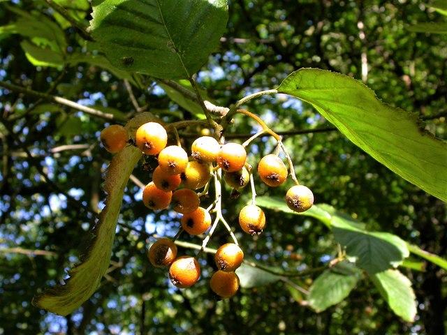Orange whitebeam fruit, South View, Churchland lane