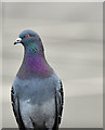 J3775 : Feral pigeon, Sydenham, Belfast (March 2017) by Albert Bridge