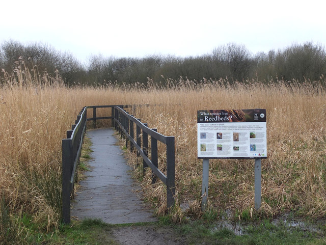 Reed bed at Wigan Flashes Nature Reserve