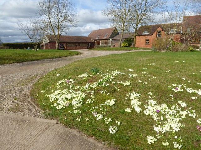 Primulas in flower