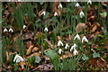 SX1451 : Snowdrops above Pont Pill by Christopher Hilton