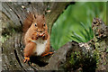 SD1399 : Enjoying a Hazelnut by Peter Trimming