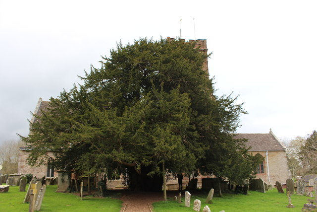 The ancient yew in Much Marcle churchyard