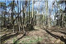 NT6378 : Mixed woodland, Hedderwick Hill by Richard Webb