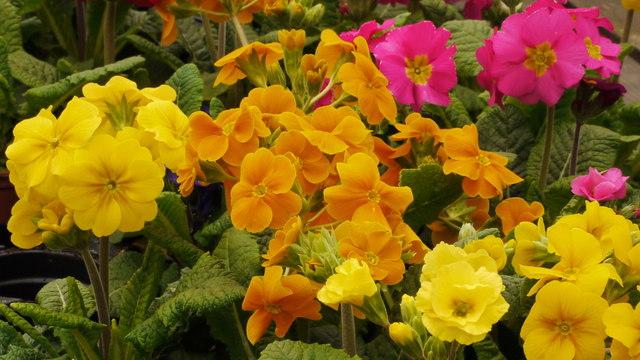 More cultivated primulas