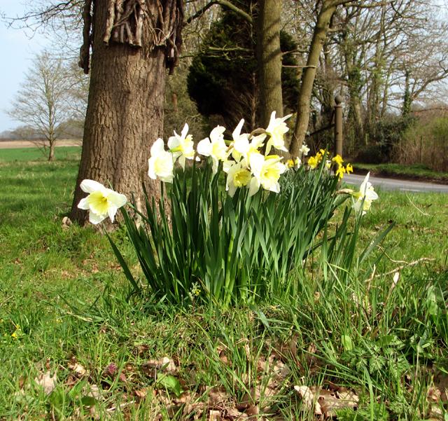 Daffodils at All Saints' church