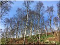 SK2479 : Silver birch trees in Bole Hill Quarry by Graham Hogg