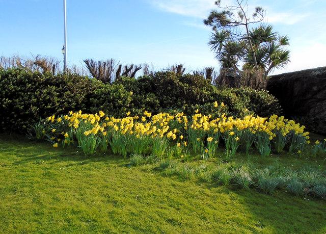 Daffodils in Marine Gardens