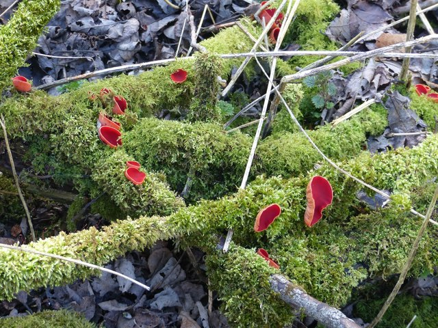 Scarlet Elf Cup at Miller's Dale