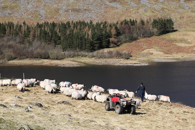 Feeding sheep at Meggethead