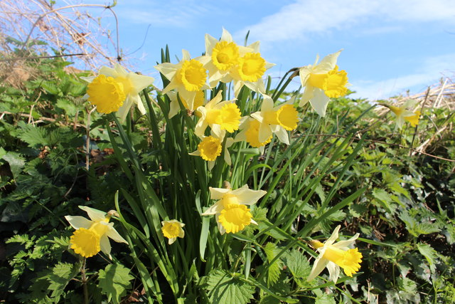 Wild daffodils growing in Woodend Lane