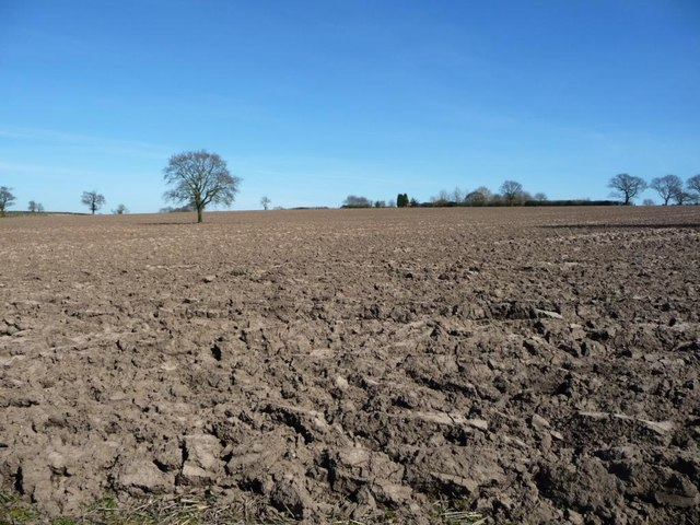 Lone tree in a large field, west of Gorse Farm
