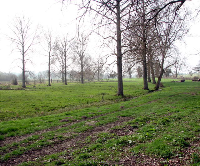 Poplars and drainage ditches in pastures