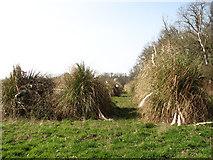 TG1005 : Elephant grass on the edge of Carleton Plantations by Evelyn Simak