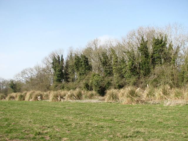A field of elephant grass