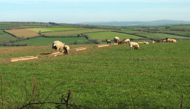 Sheep by the B3359