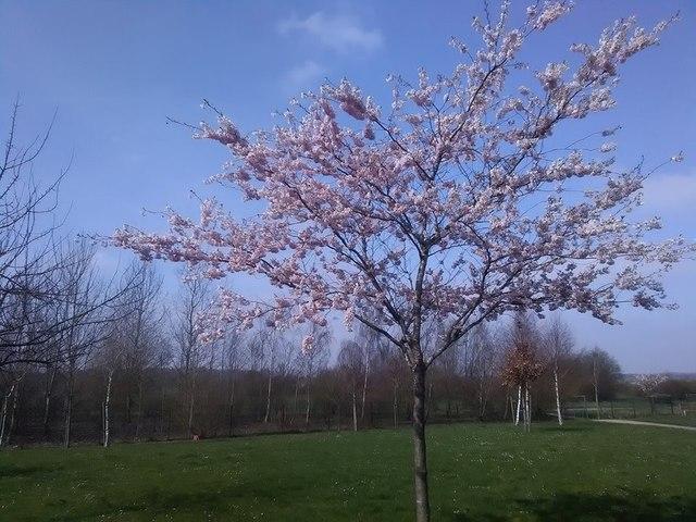 Salisbury Village - Apple Blossom
