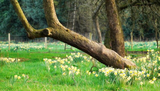 Wild daffodils at Kilcot Green, 2