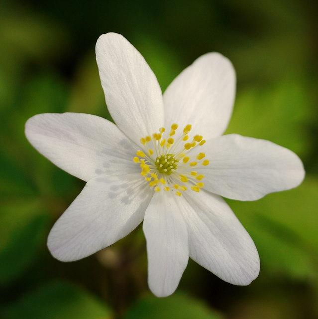 Anemone nemorosa, Wood Anemone, 3