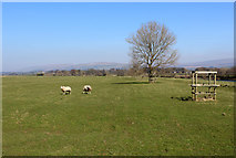 SD6074 : Sheep Pasture beside the River Lune by Chris Heaton