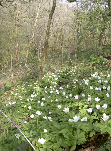 Wood Anemone above the Siston Brook