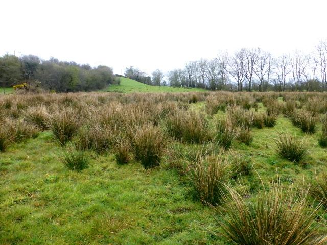 Rushy ground, Bracky
