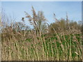 TL3369 : Reeds at Paddy's pond by M J Richardson