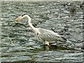 SU1093 : Heron, Town Bridge, Cricklade (1) by Brian Robert Marshall
