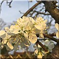 SK4933 : Plum blossom by David Lally