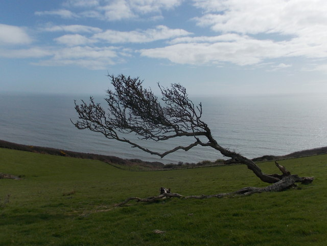 Seatown: a windswept tree