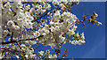 TQ2995 : Cherry Blossom, London N14 by Christine Matthews