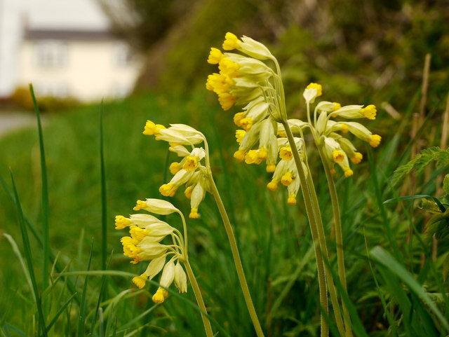 Cowslips by Kempley Lane