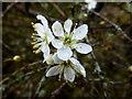 H5681 : Hawthorn blossom by Kenneth  Allen