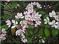SJ4155 : Crab Apple blossom by Eirian Evans