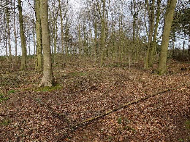 Beech trees, Cockleycley Wood