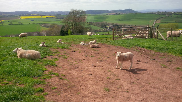 Lambs at Haygrove Farm in the spring sunshine