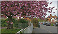 SK5801 : Blossom along Grace Road in Aylestone by Mat Fascione